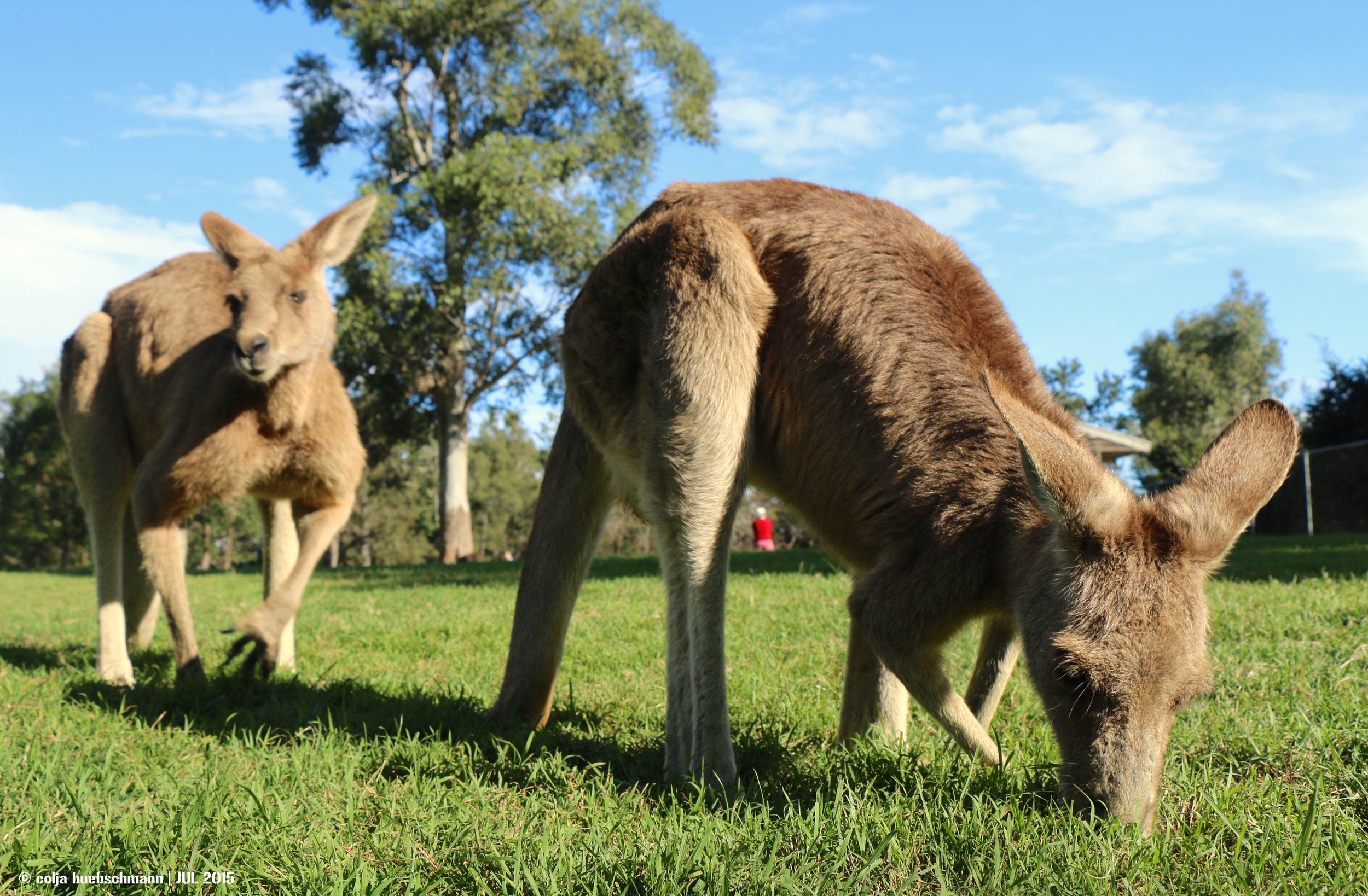 Kangaroos, Koala Sunction, Brisbane ,  AUSTRALIA