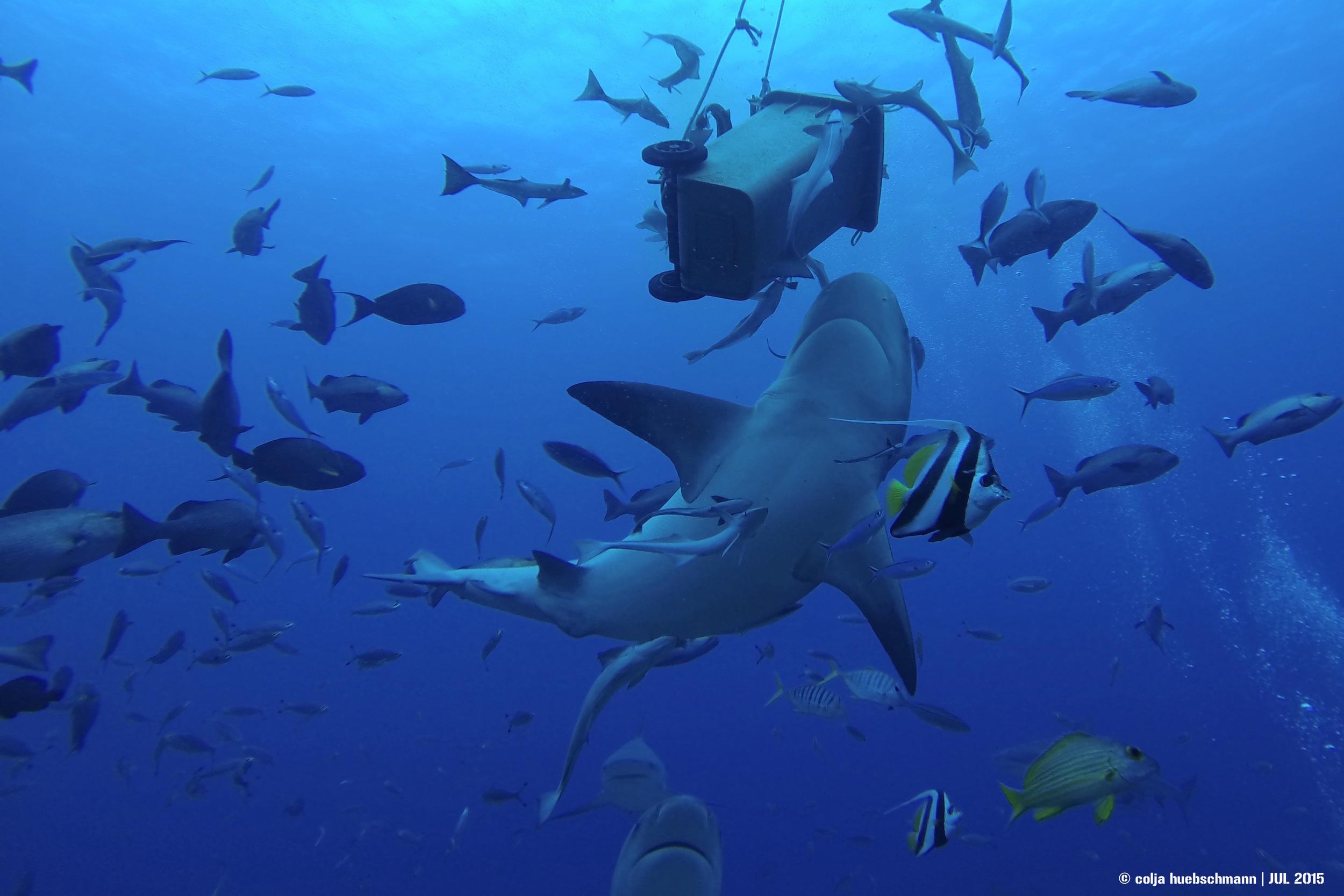 bull shark, beqa lagoon, fiji