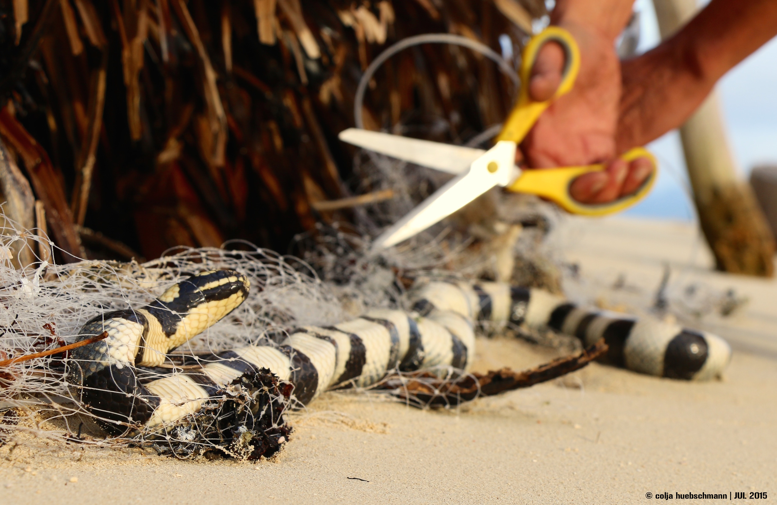 sea snake, LELEUVIA ISLAND, FIJI