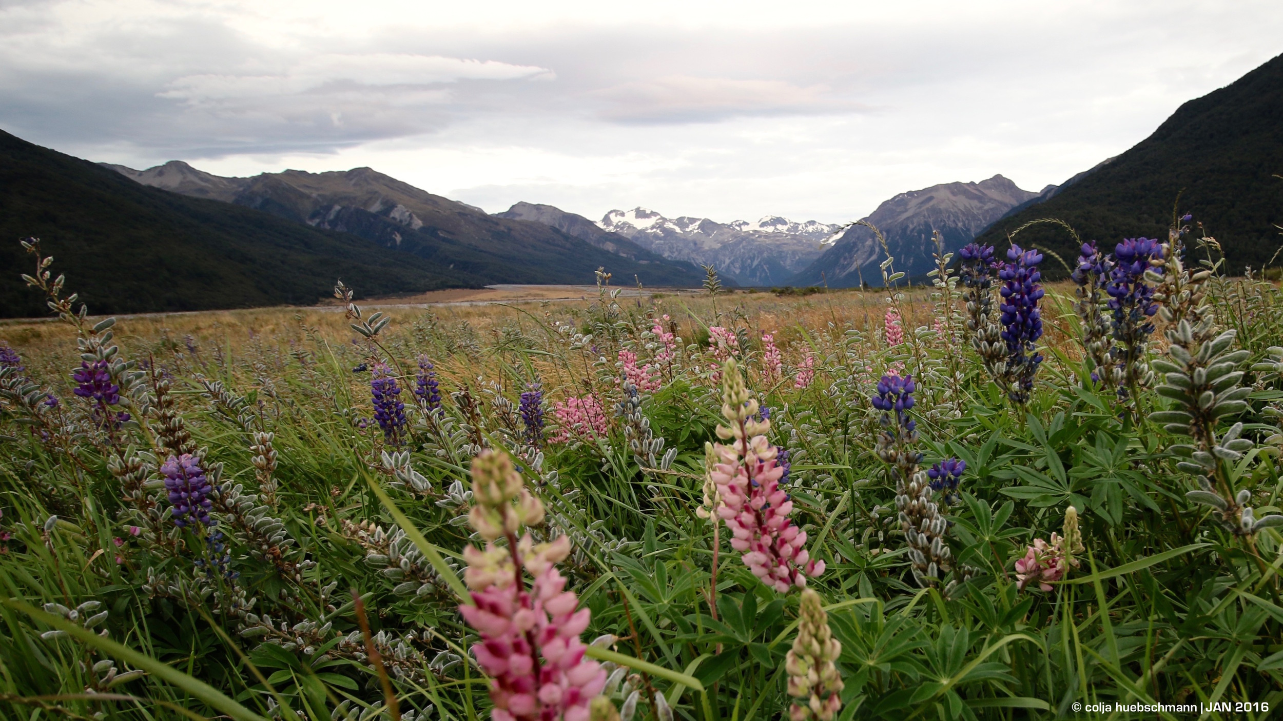 Lupine flowers at Arthur's Pass
