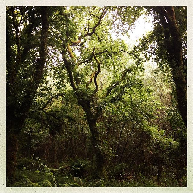 From the cabinet of favorite things: walking under mossy trees in the rain, near ferns in the rain, dry under my rain cape, while the rain fills the sluiceways all the way to Santiago #spain #camino #walking