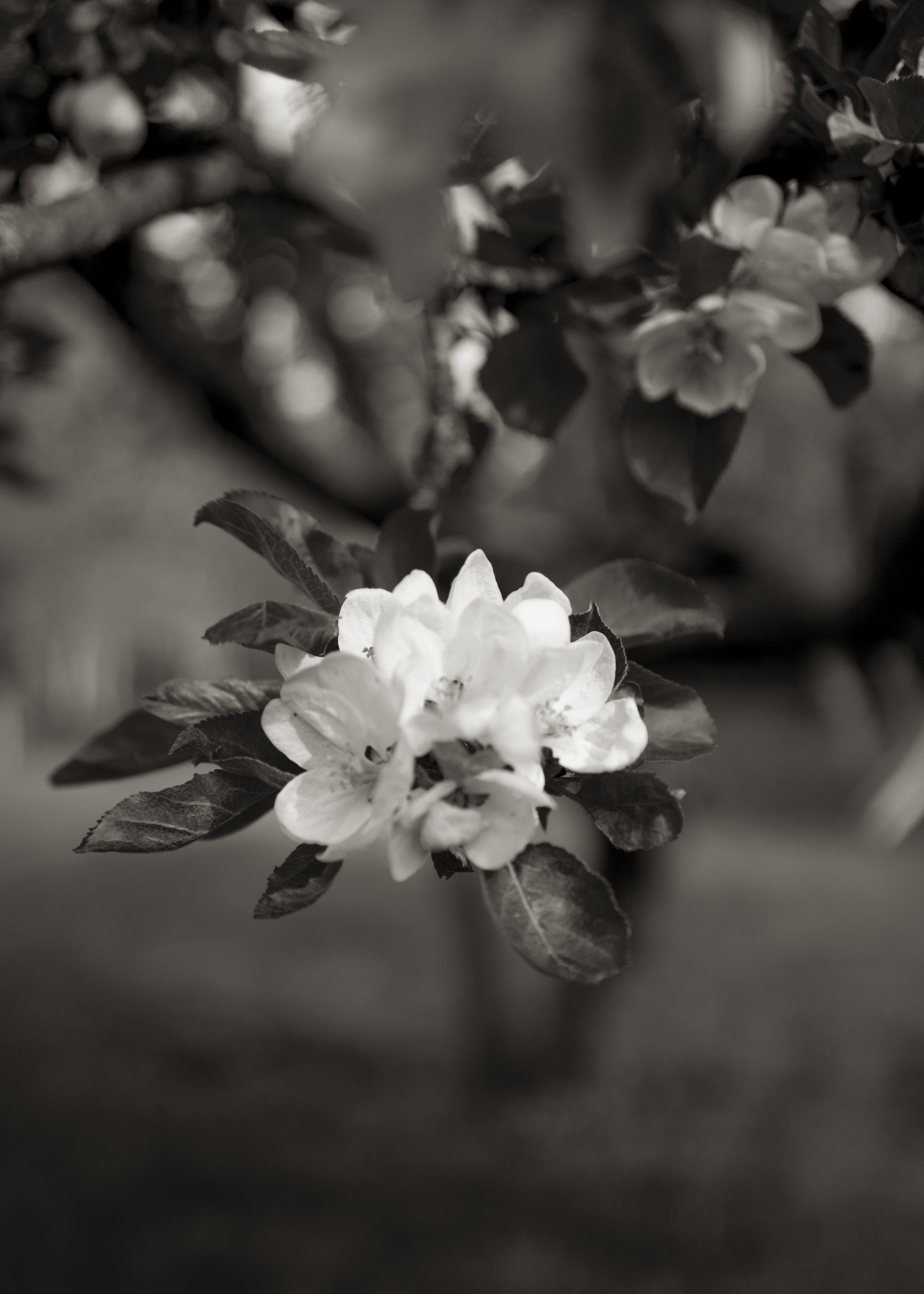 Apple Blossom