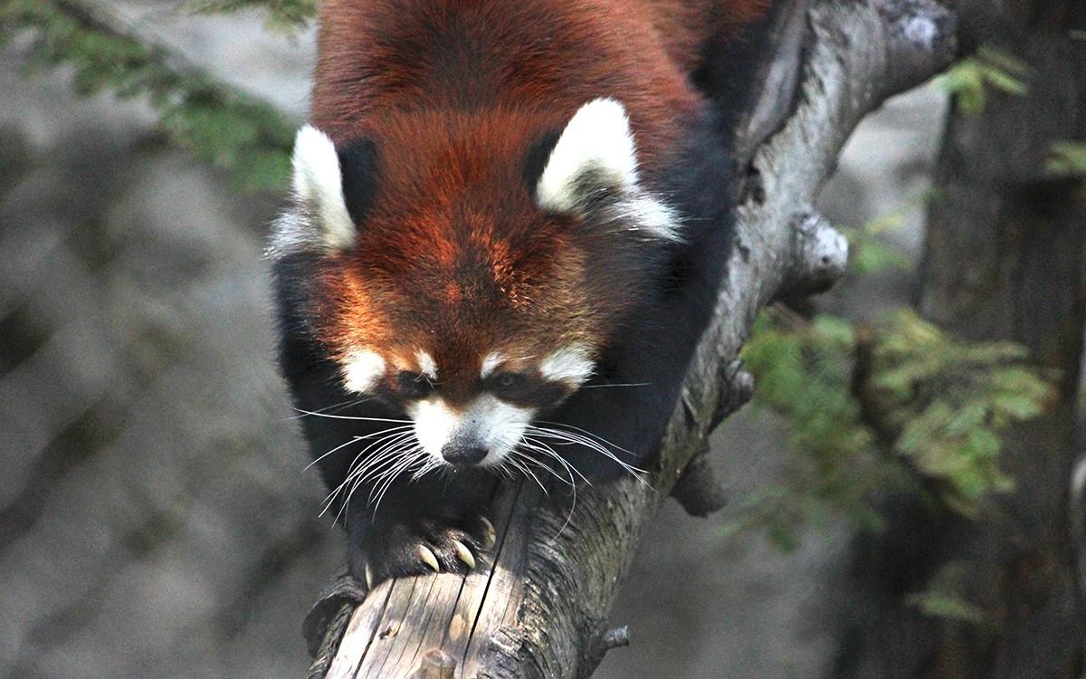 red panda pic.jpg