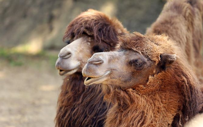 camel pic.jpg