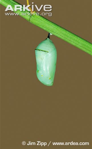 Monarch-butterfly-larva-pupa.jpg