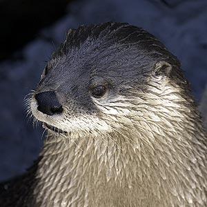 na_river_otter.jpg