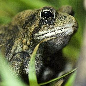 american_toad.jpg