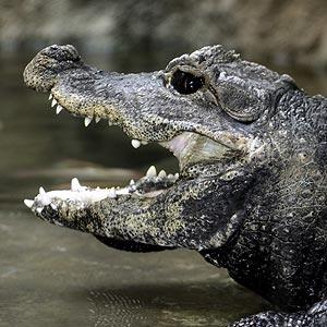 dwarf_crocodile.jpg