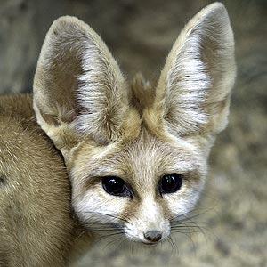 fennec_fox.jpg