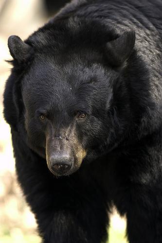 blackbear.jpg