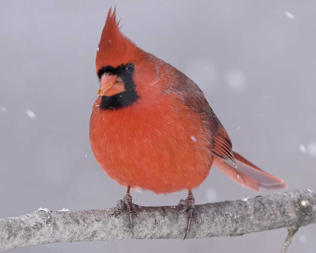 Northern Cardinal - A fun and easy-to-recognize bird, the Northern Cardinal is the state bird of Illinois! Males are known for their striking red feathers. Listen for