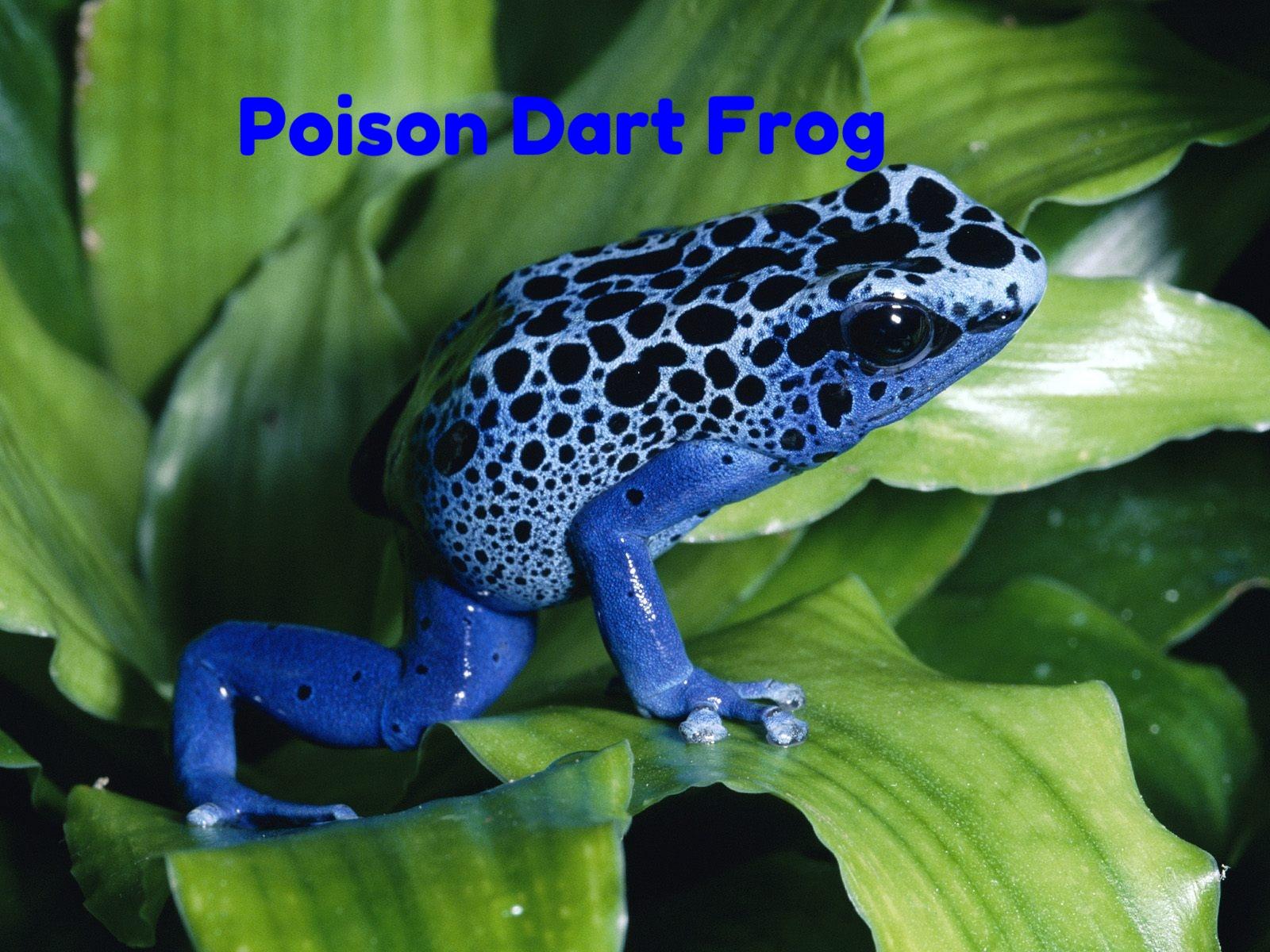 poison frog.jpg