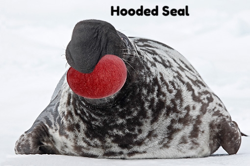 hooded seal.JPG