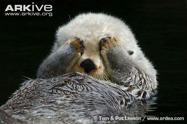 Sea-otter-grooming.jpg
