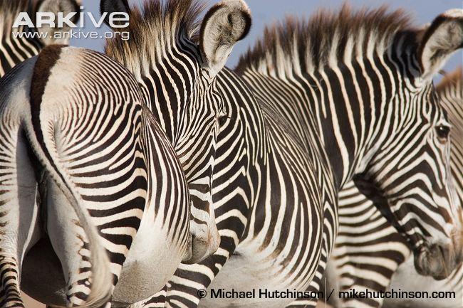 Grevys-zebras-showing-pattern-of-stripes.jpg