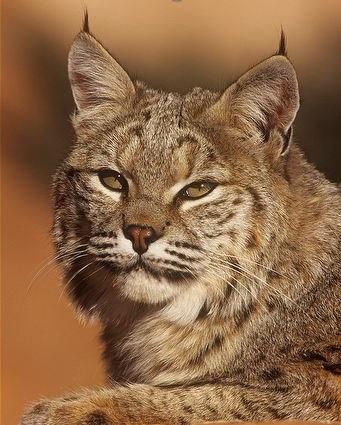 Close-up-of-a-bobcat.jpg