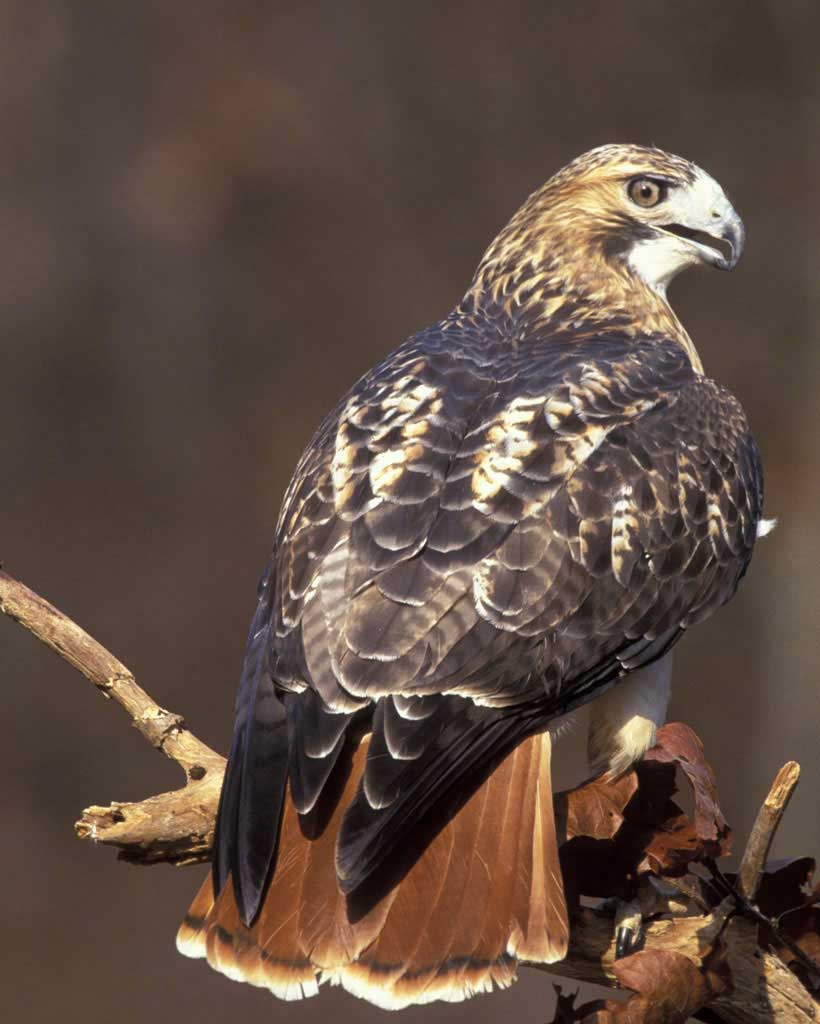 Red-Tailed Hawk - Red-Tailed Hawks are the most widespread and familiar large hawks in North America. Look for the trademark reddish-brown tail. Listen for high-pitched, raspy screams.