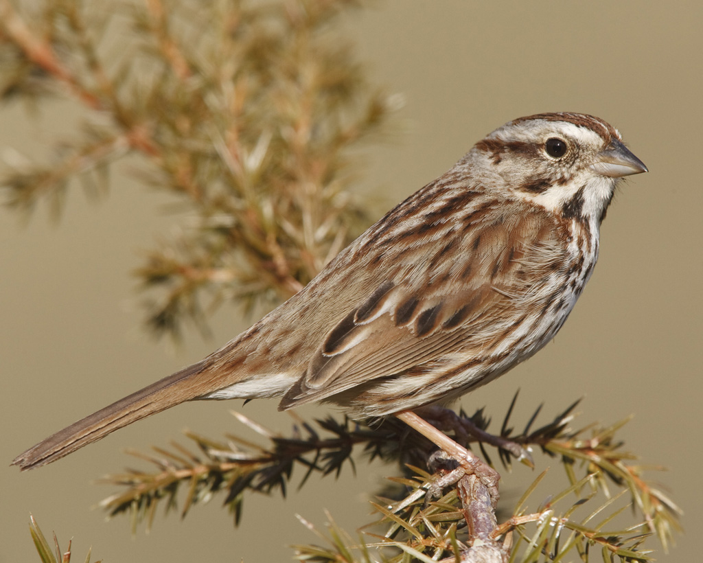Song Sparrow - The Song Sparrow is one of the most familiar birds in our area. Tiny and speckled brown, these sparrows are known for their beautiful songs, starting with 3 identical, short notes followed by a trill.