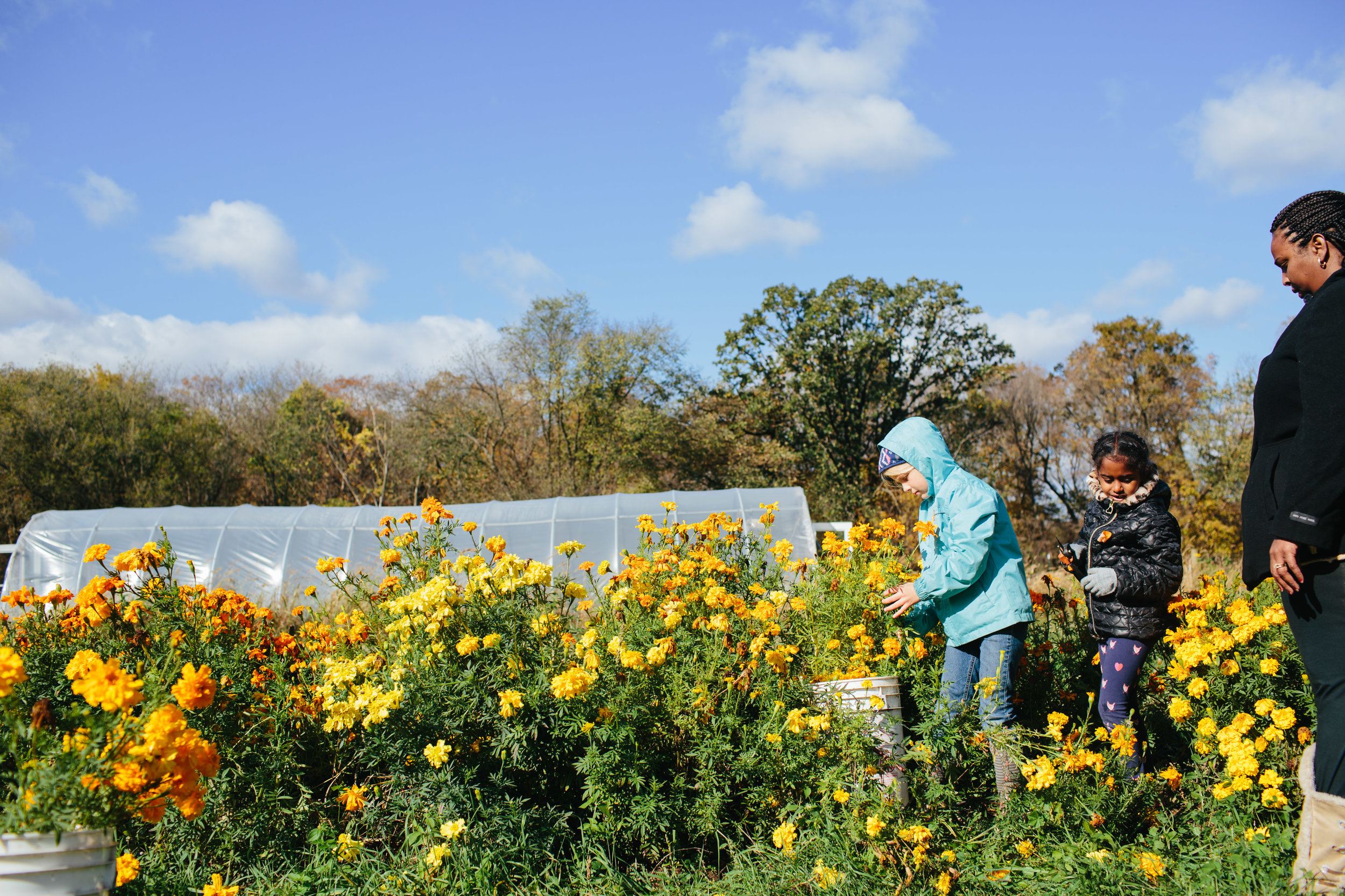Marigold harvest-03.jpg