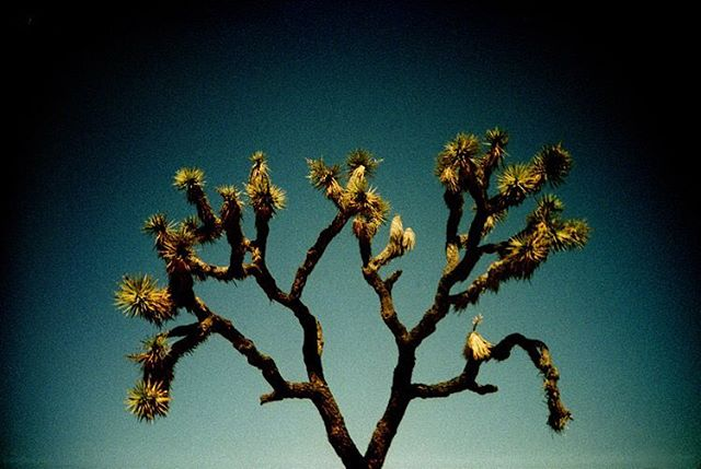 a joshua tree in Joshua Tree National Park #analogphotography #analoguephotography #analog #analogue #lomo #lomography #lomolca #crossprocess #film #filmphotography #slidefilm #filmsnotdead #joshuatree #joshuatreenationalpark #neverstopexploring #adventureladies #exploretheworld #filmcameraclub
