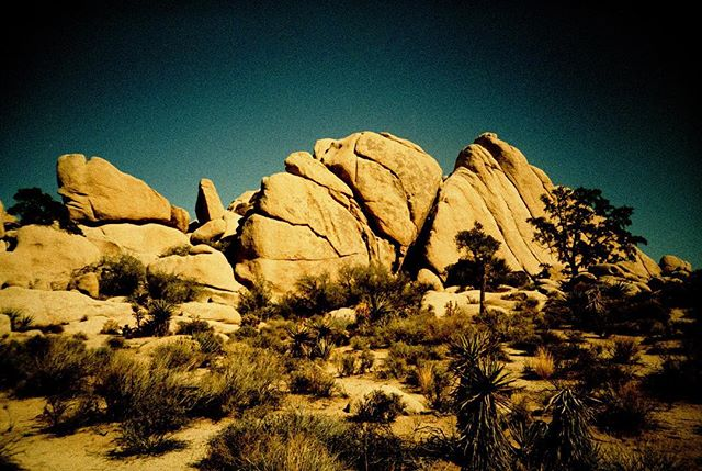 Joshua Tree NPS, taken with a Lomo LCA+, cross-processed slide film #analogforever #lomography #findyourpark
