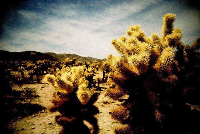 Cholla Cactus Gardens in Joshua Tree NP #joshuatree #joshuatreenationalpark #lomography #lomographyfilm #lomolca #crossprocess #filmphotography #filmisnotdead #analogphotography #analogue #estespark #findyourpark #neverstopexploring #ladyadventures #exploretheworld #explorecalifornia #chollacactus #chollacactusgarden #mishaashtonphotography