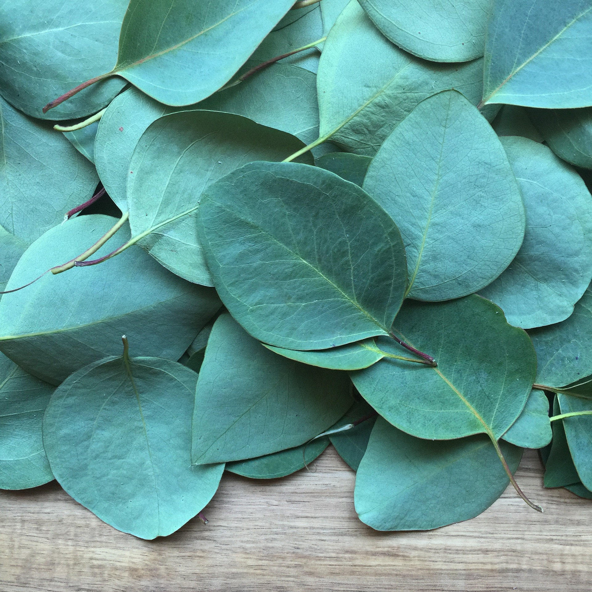 eucalyptus, a remedy for your stuffy nose