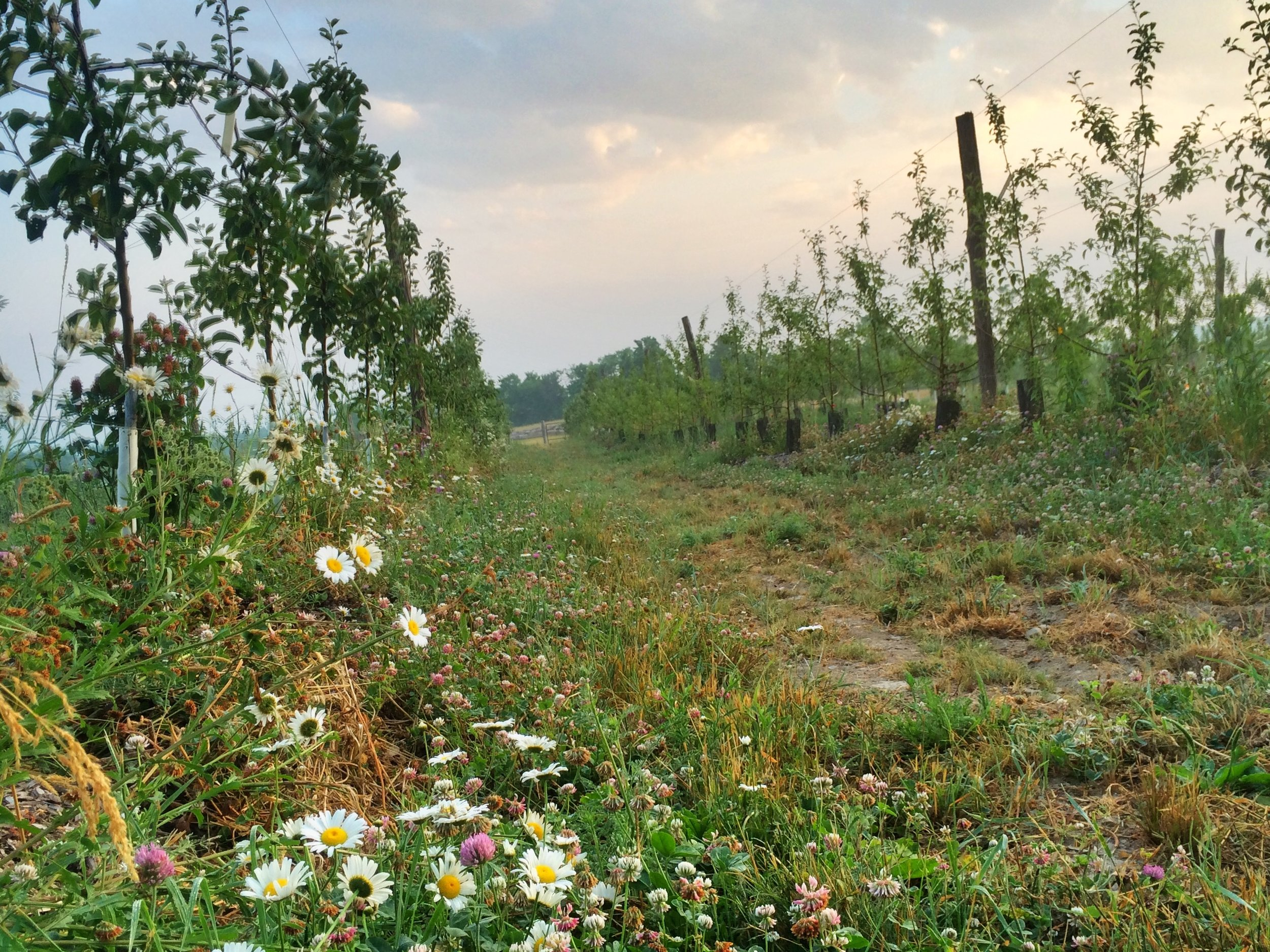 Wildflowers help sustain pollinators. We established out orchard with no synthetic inputs. The summer after planting this block in 2016.