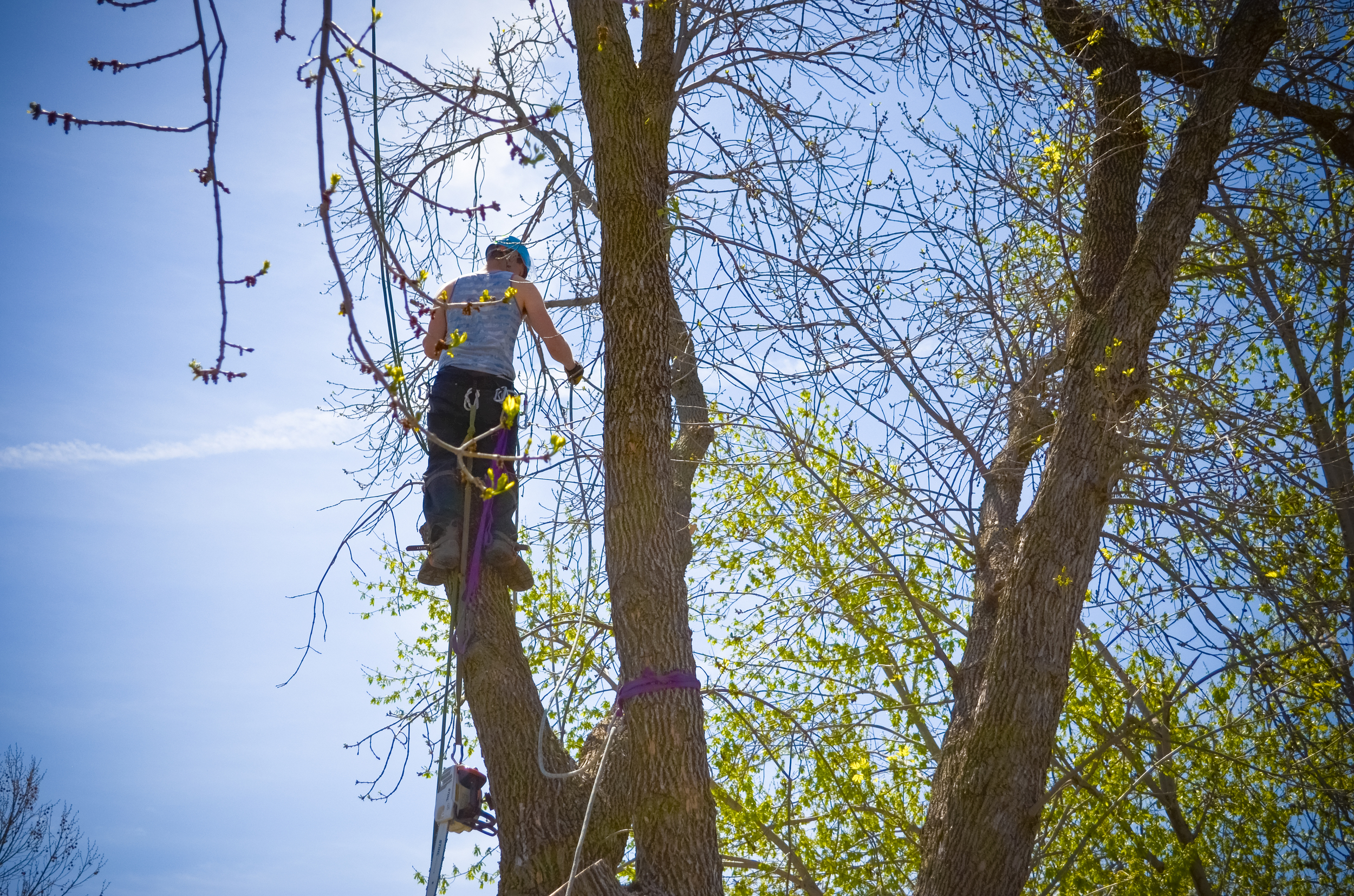 Professional Climbers For Those Trees That Are Impossible To Reach With A Bucket Truck.
