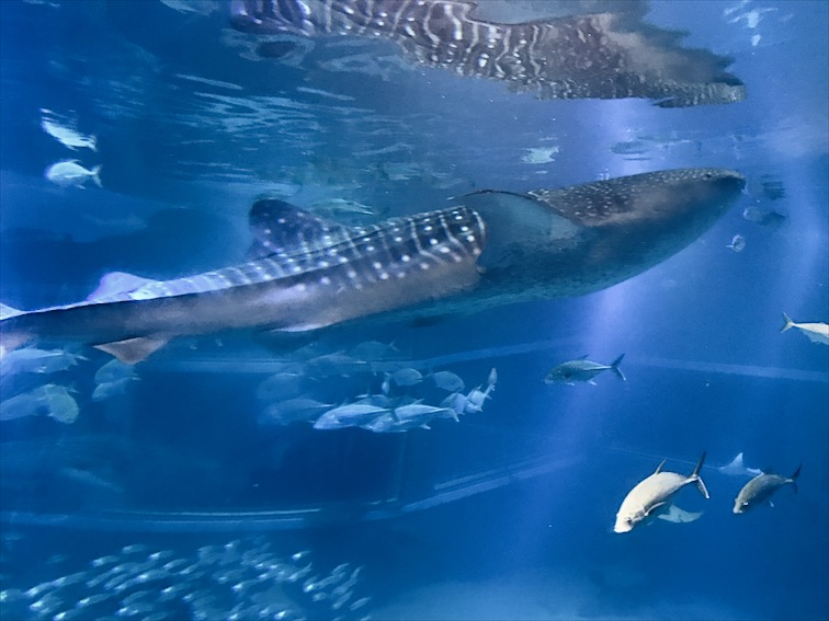 I was super excited to see a Whale Shark in person.