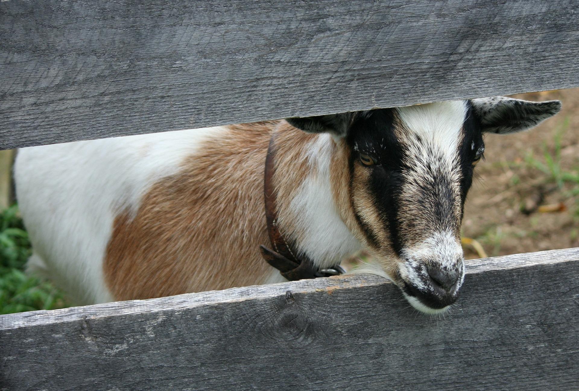 goat-58898_1920.jpg