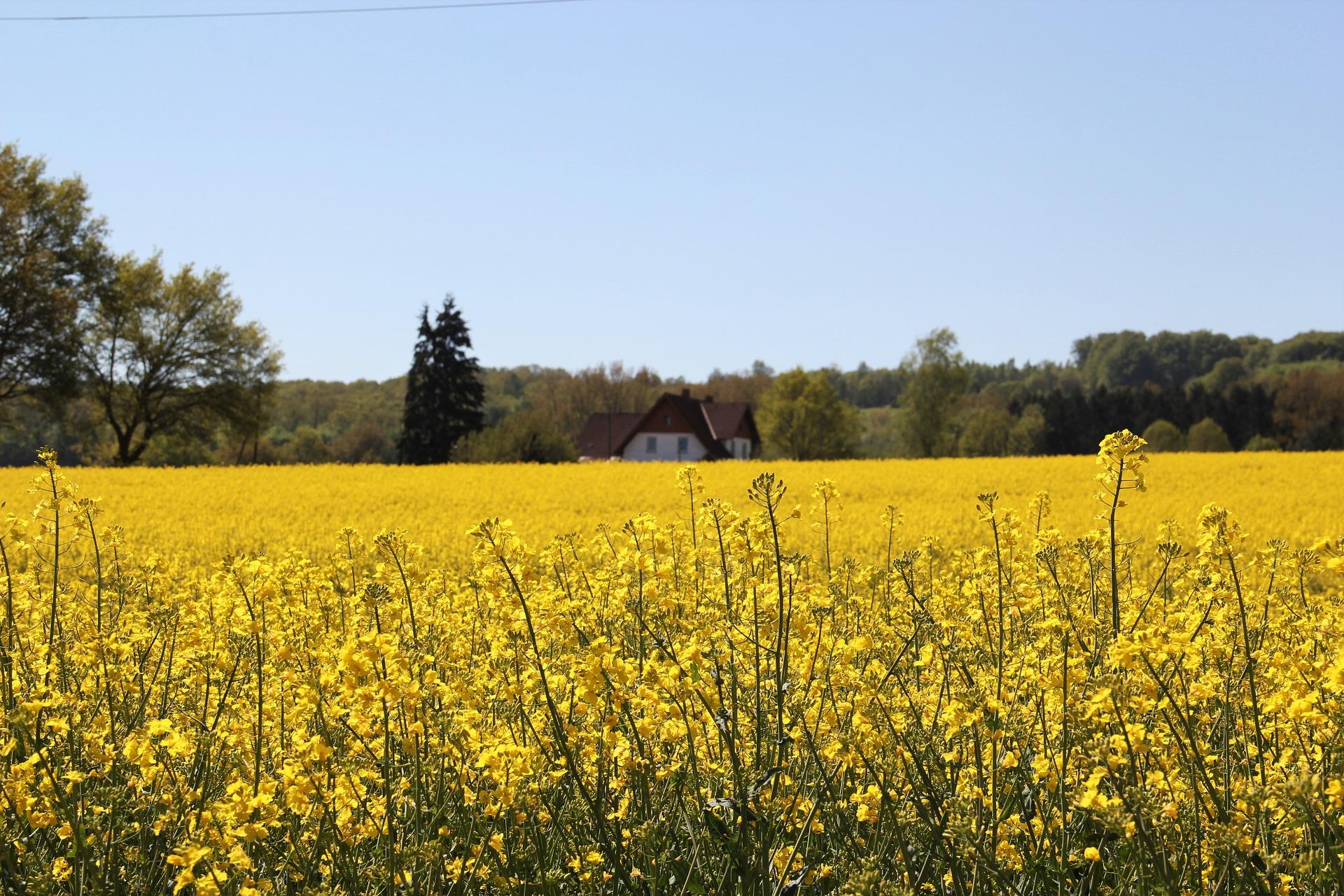 field-of-rapeseeds-1382773_1920.jpg