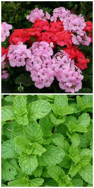 geranium and mint