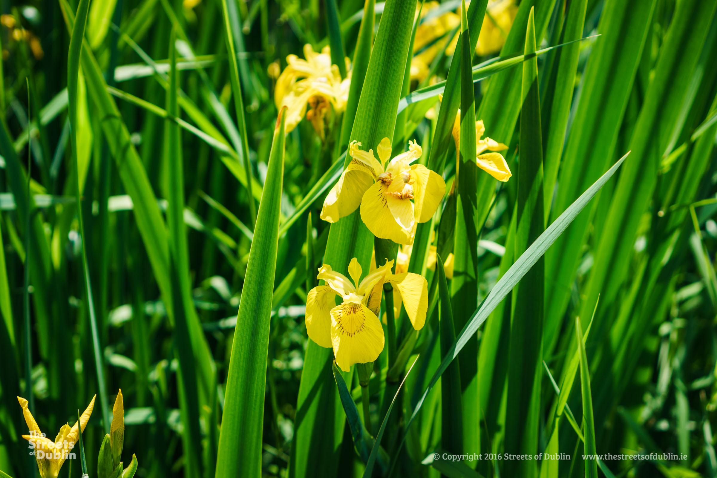 Yellow Reed Flowers