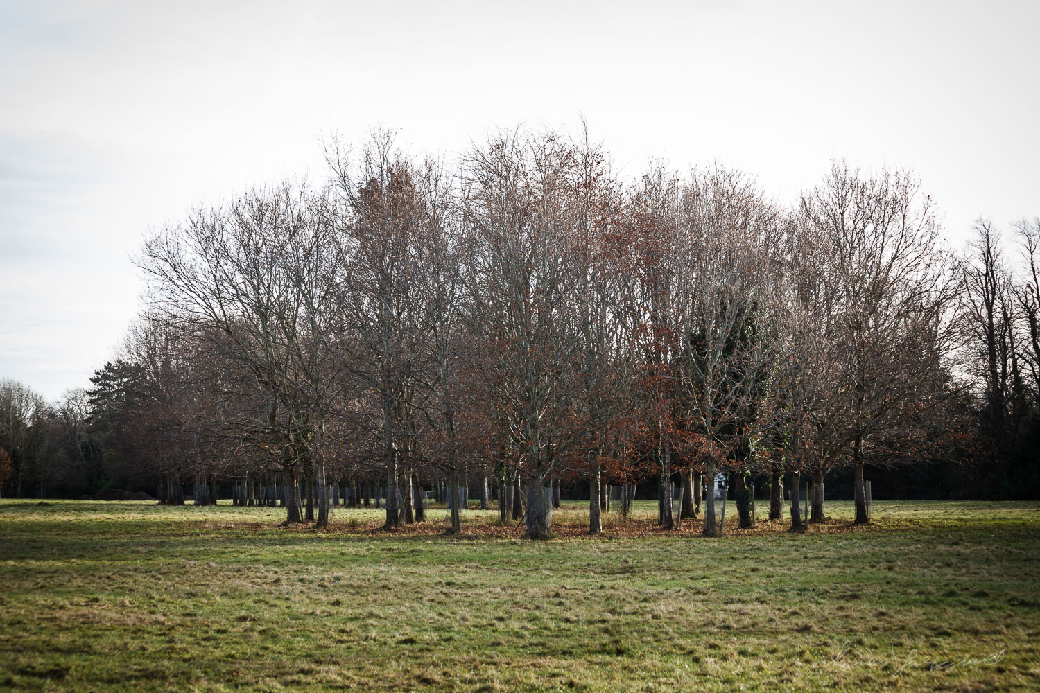 A grove of Trees in the Phoenix Park in Dublin