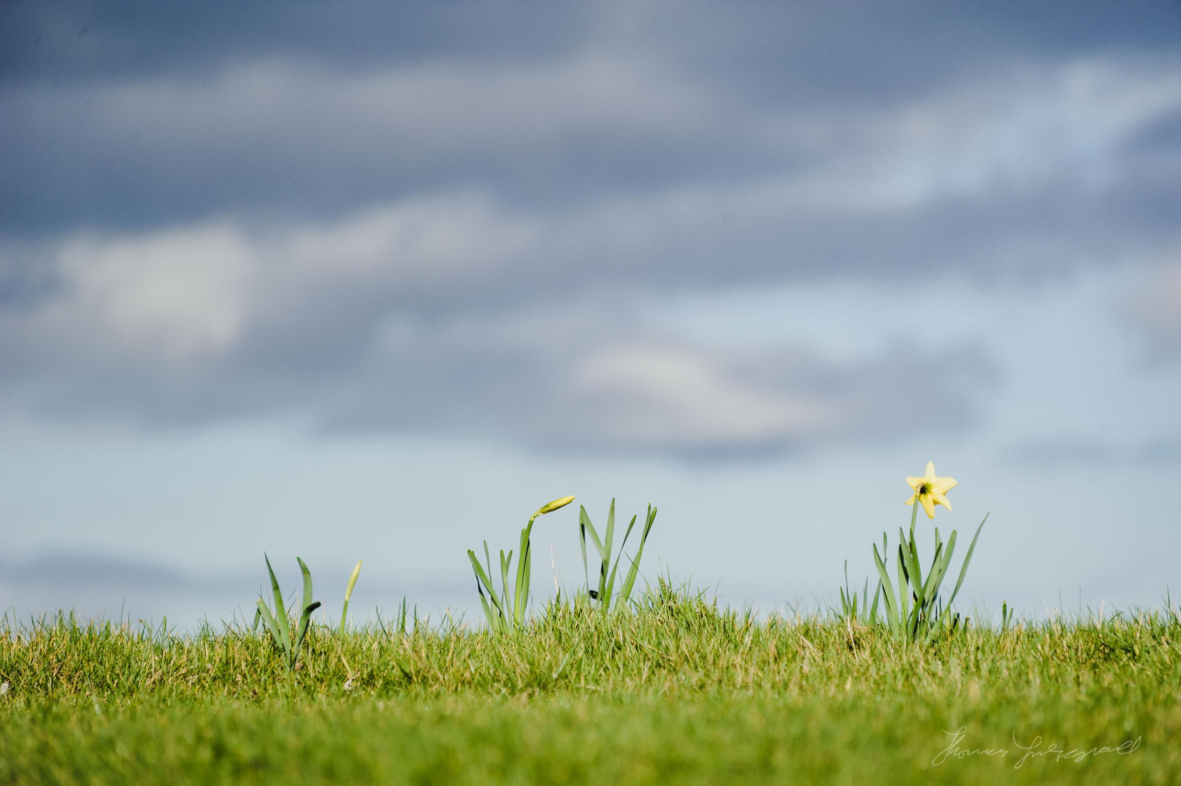 Daffodils on the grass in Malahide