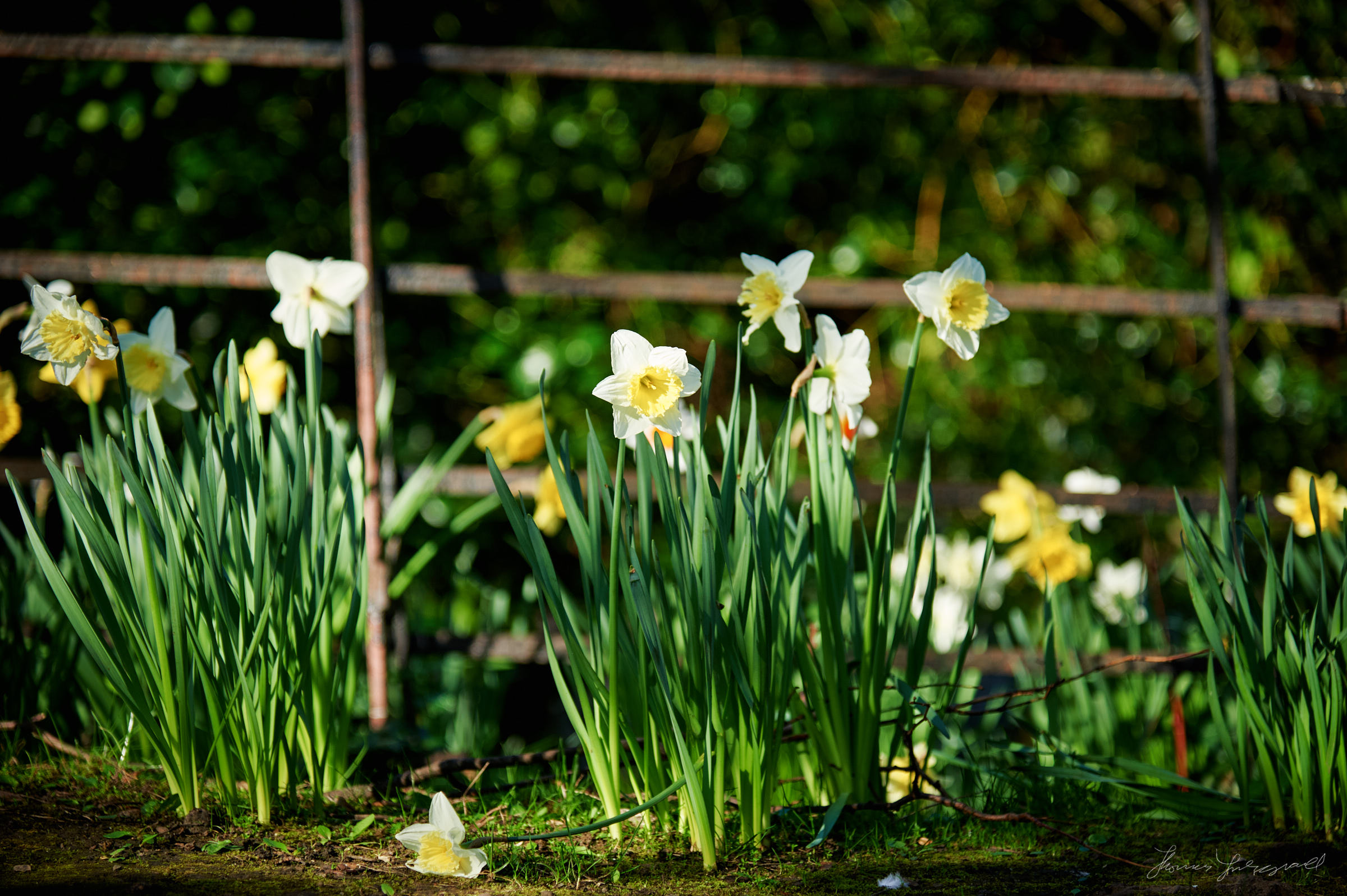 Daffodils in the Park
