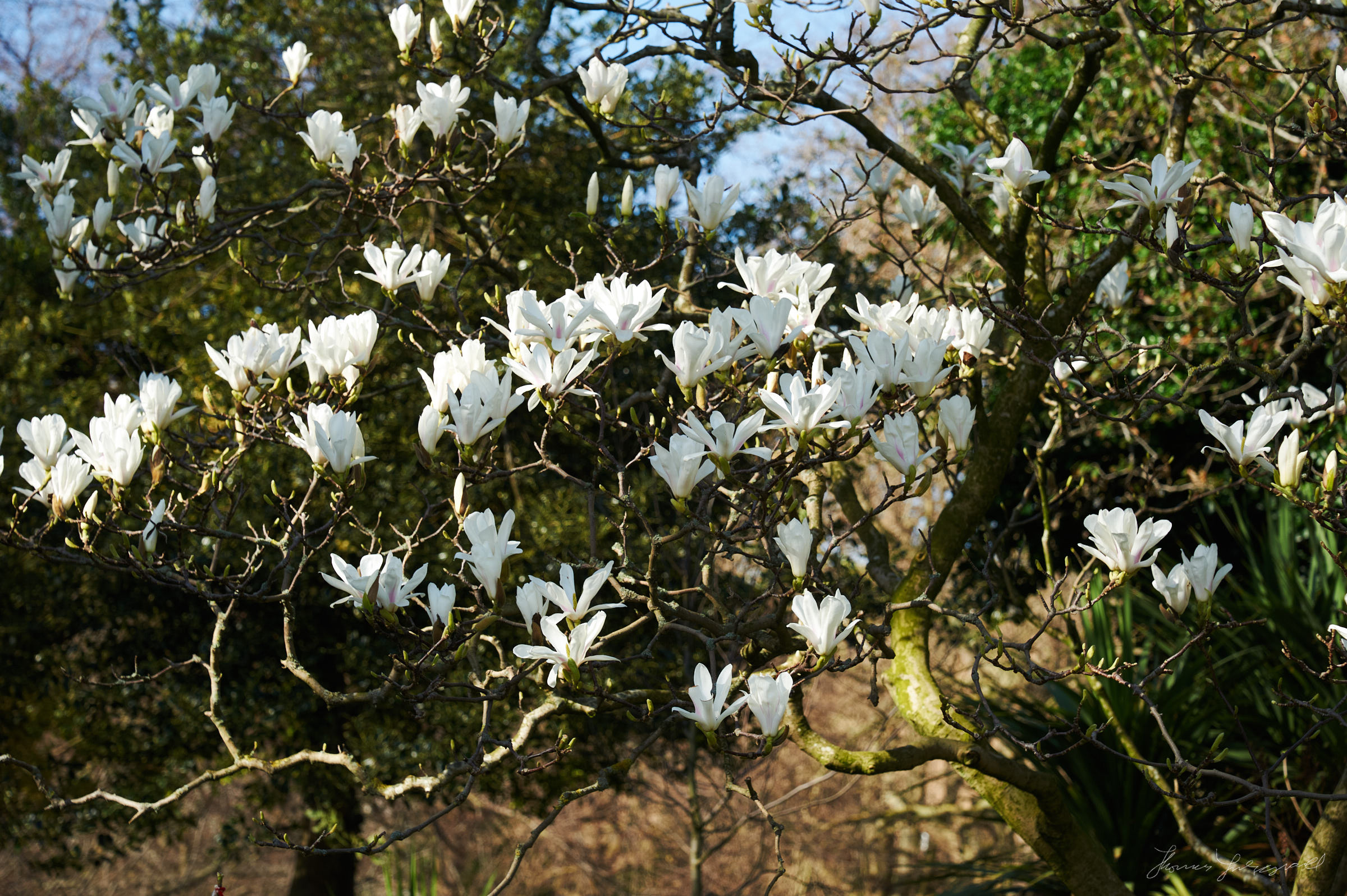 Magnolia flowers blooming