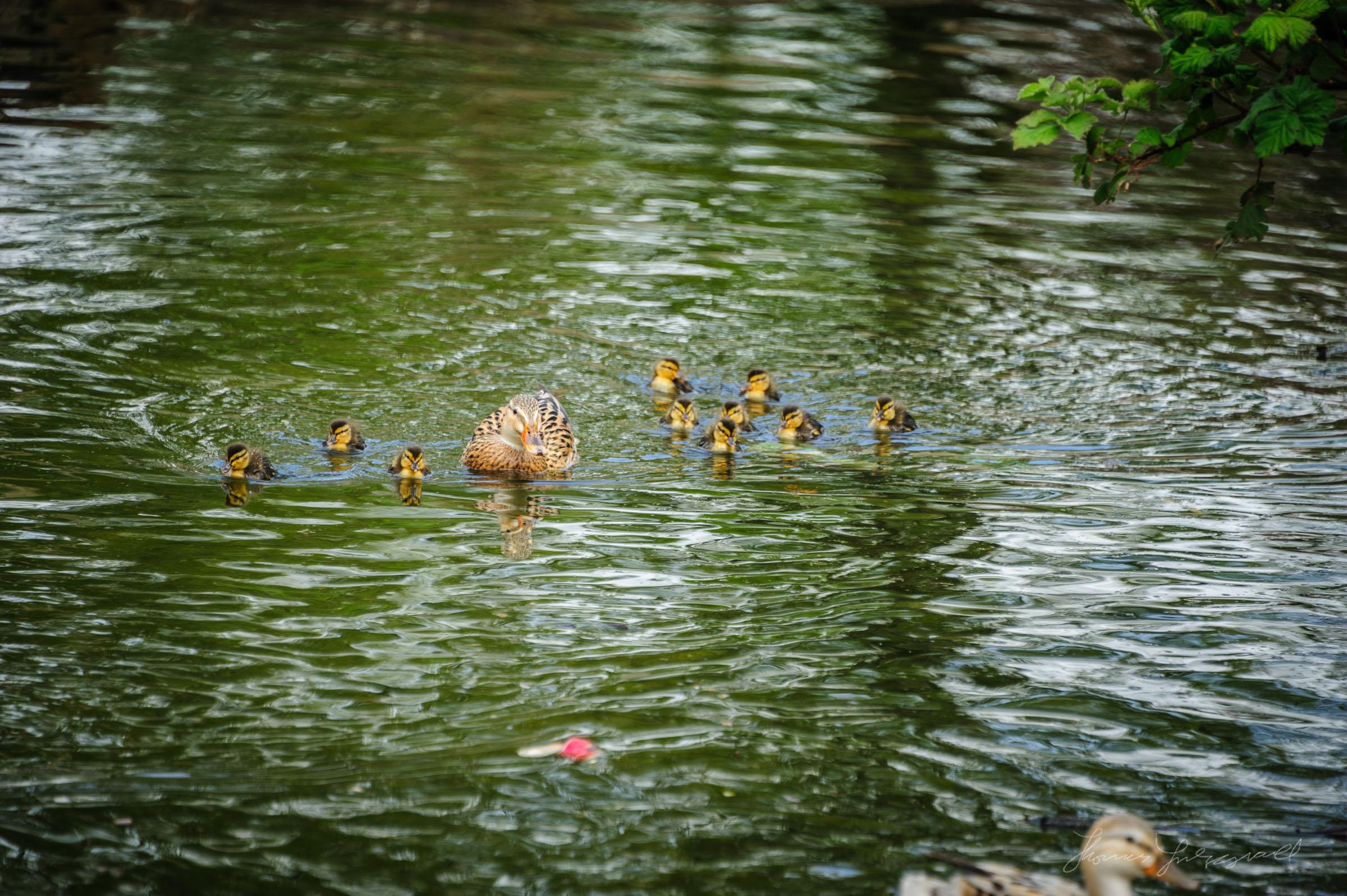 ducklings in herbert park, in dublin