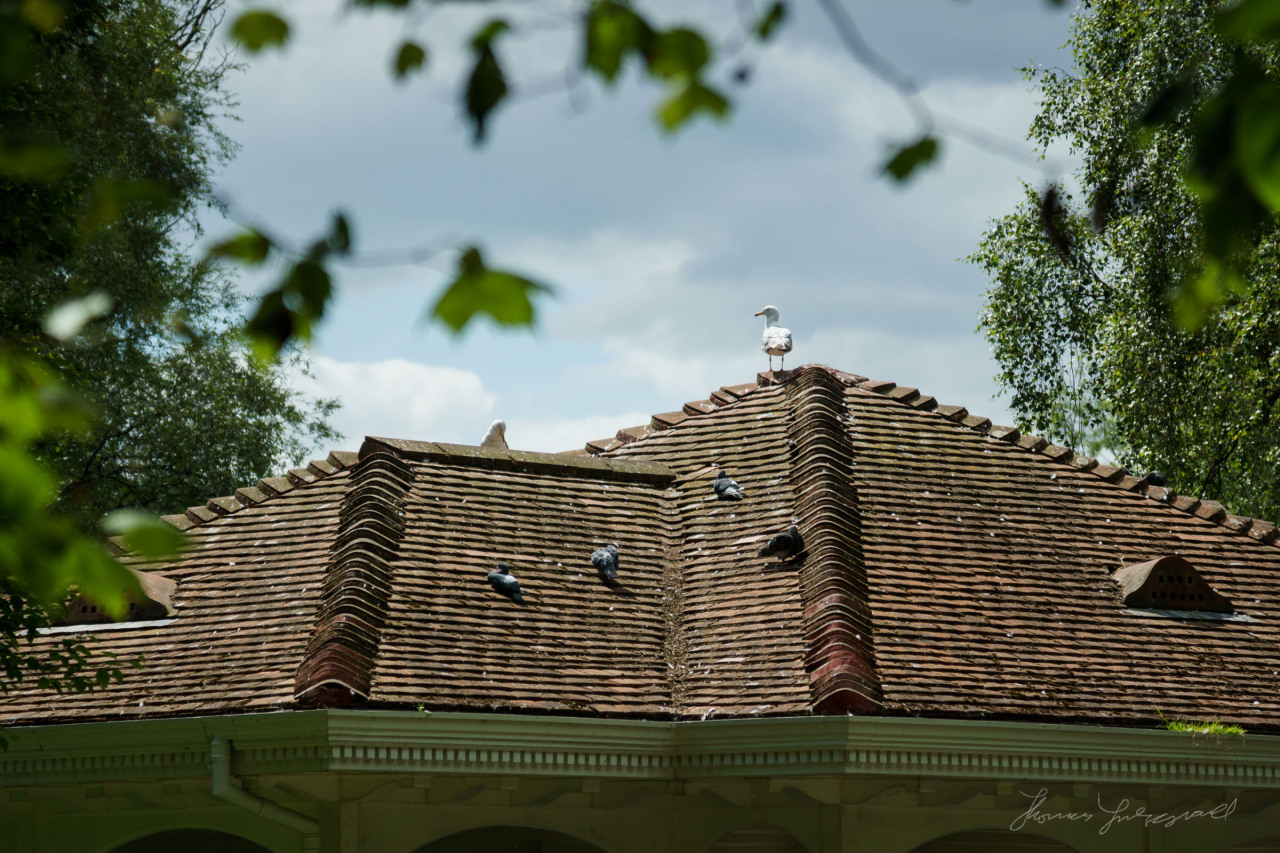 A bird keeps watch on the roof of the gazebo in Stephen's Green
