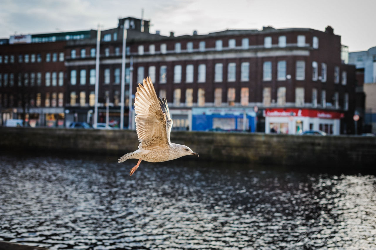 Seagull in flight over the Liffey
