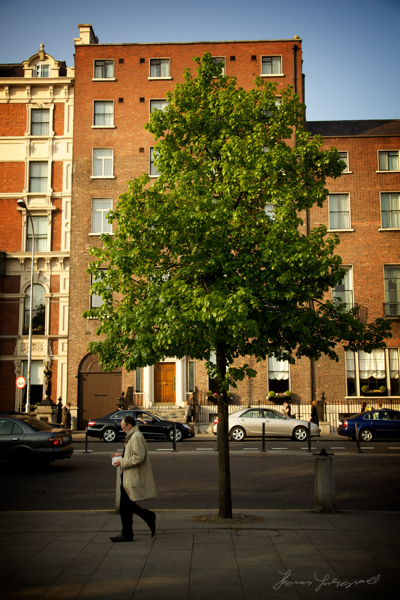 A proud tree by St. Stephen's Green