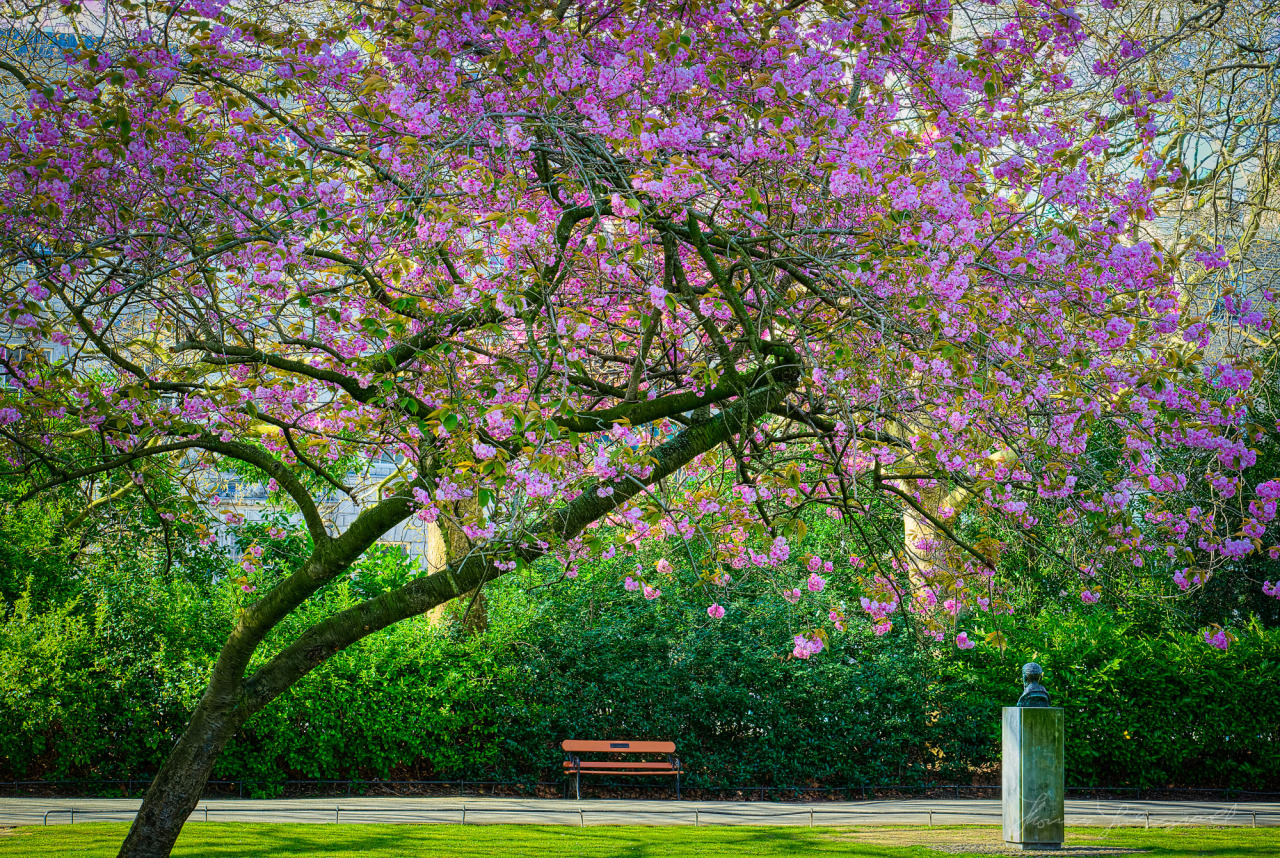 Beautiful Cherry Tree in Full Bloom over a bench in Stephen's Green