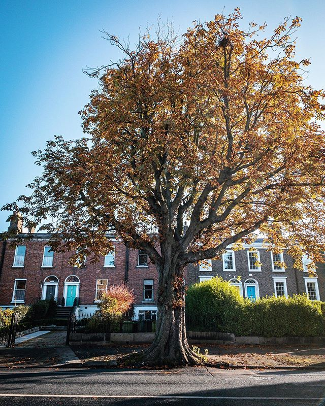 Beautiful tree on the way into the city centre from Ranelagh  #autumn #autumncolour #fall #fallcolor #discoverdublin #visitireland #visitdublin #documentdublin #dublin #dublinstreets #visitireland #visitdublin #lovedublin #lovindublin #loveireland #cityscape #streetsofdublin