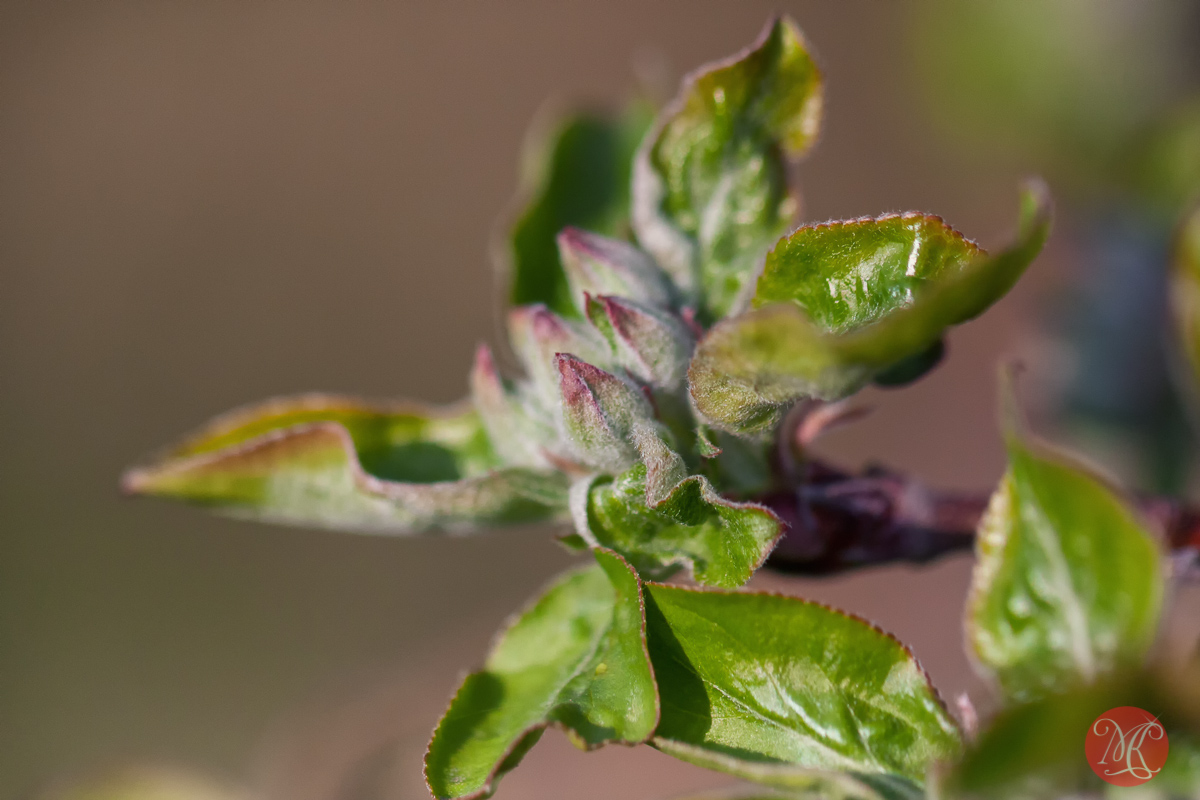 canon,100mm,macro,spring,nature,foliage,abstract,color, beauty,apple,tree,buds