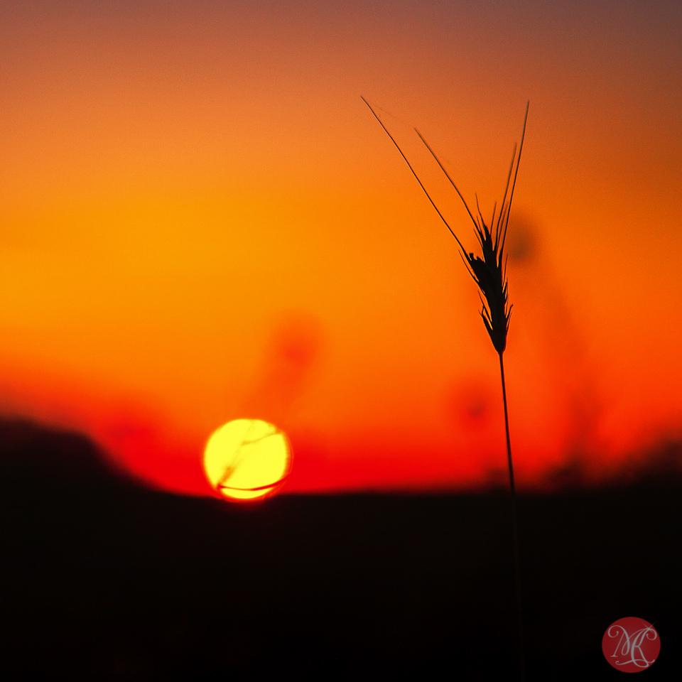 1-canada-alberta-sunrise-meadow-sun-wild-beauty-macro-september-prairies-golden-glow.jpg