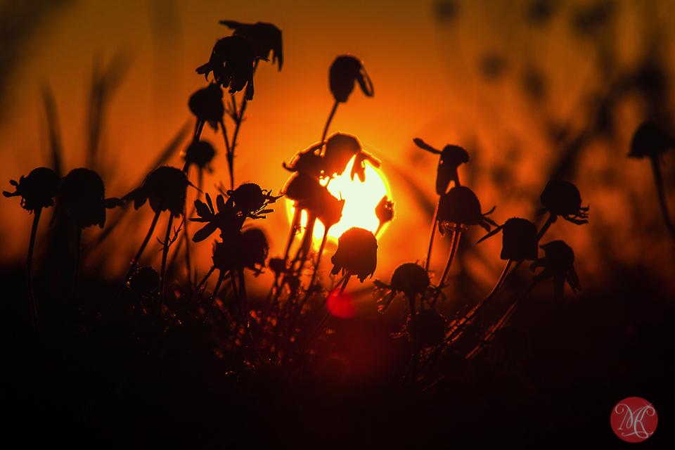 4-canada-alberta-sunrise-meadow-sun-wild-beauty-macro-september-prairies-golden-glow.jpg