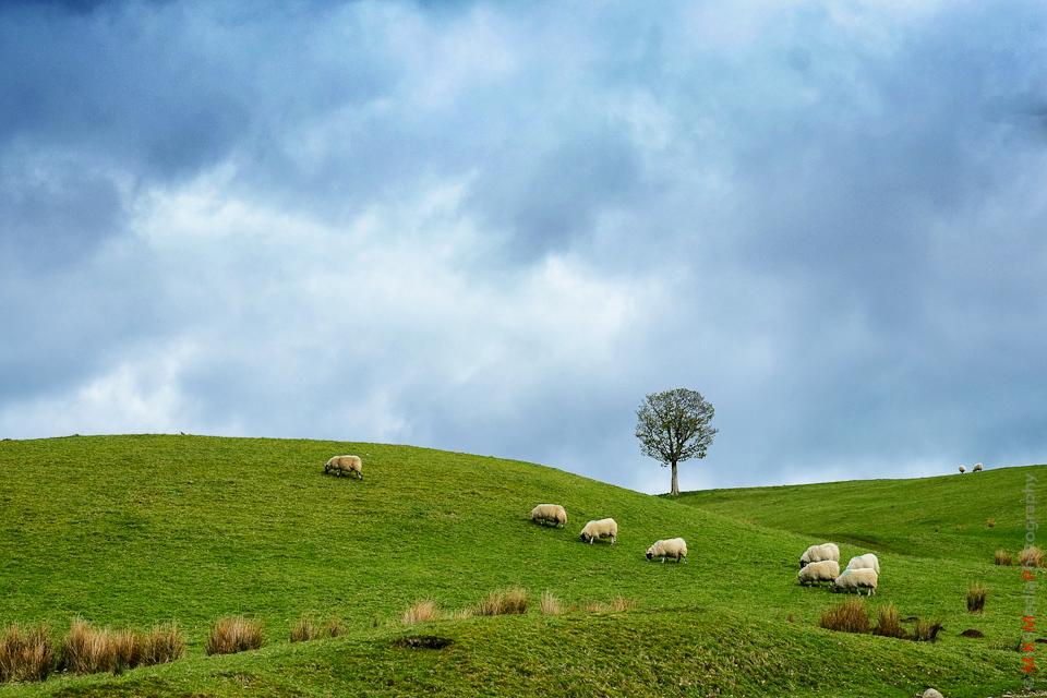 9-tree-scotland-highland-sheep.jpg