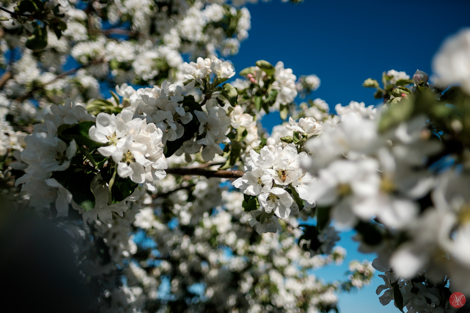 Fuji 16mm f1.4 Apple tree in bloom