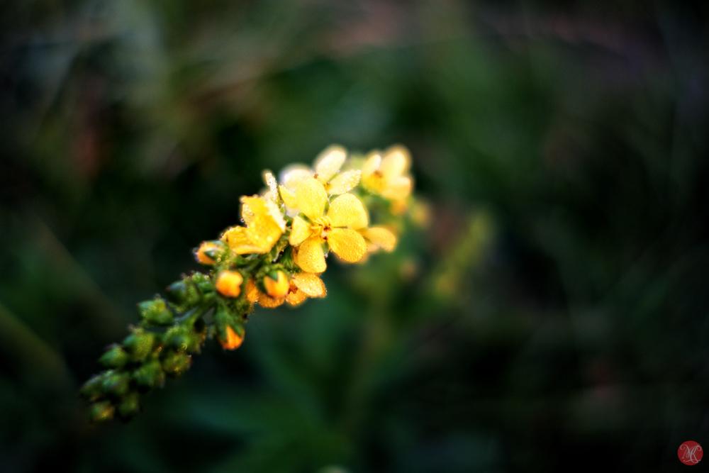 Yellow Flower Alberta Macro